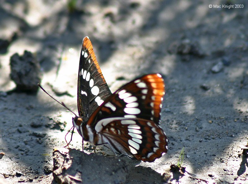 lorquins_admiral_backlit.jpg