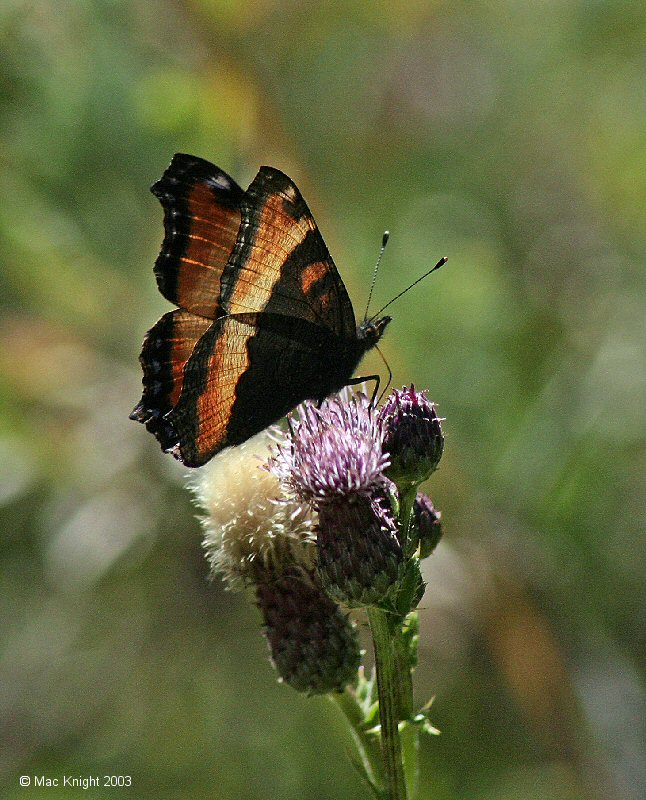 tortoiseshell_on_thistle2.jpg