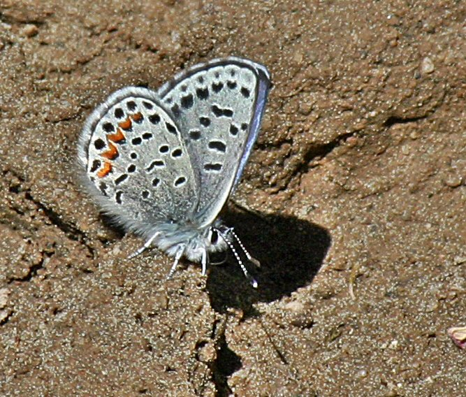 western_square-dotted_blue.jpg