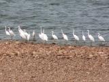 097 Egrets.jpg