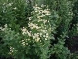 Chrysanthemum parthenium  (Feverfew)