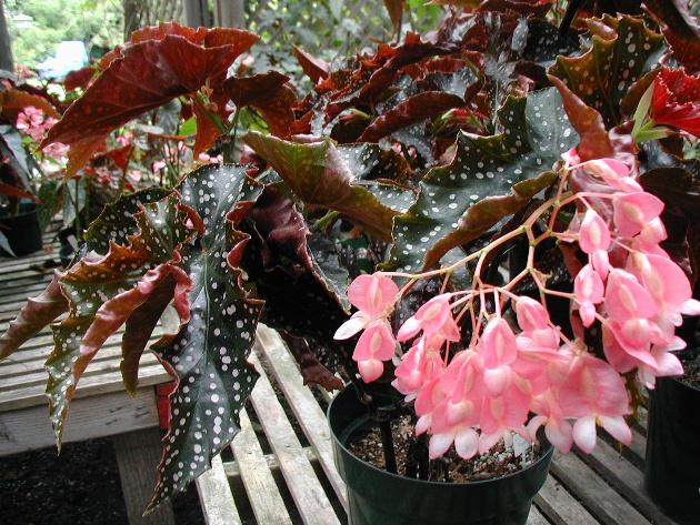 Begonia Cracklin Rosie