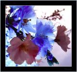 Blossom (4996)