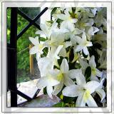 Lilies, Stourhead (2036)