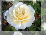 White rose (2042)