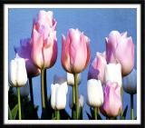 Tulips (2430)