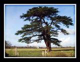 The old cedar tree again, Martock