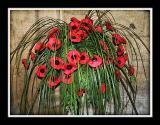 Poppies, All Saints, Martock