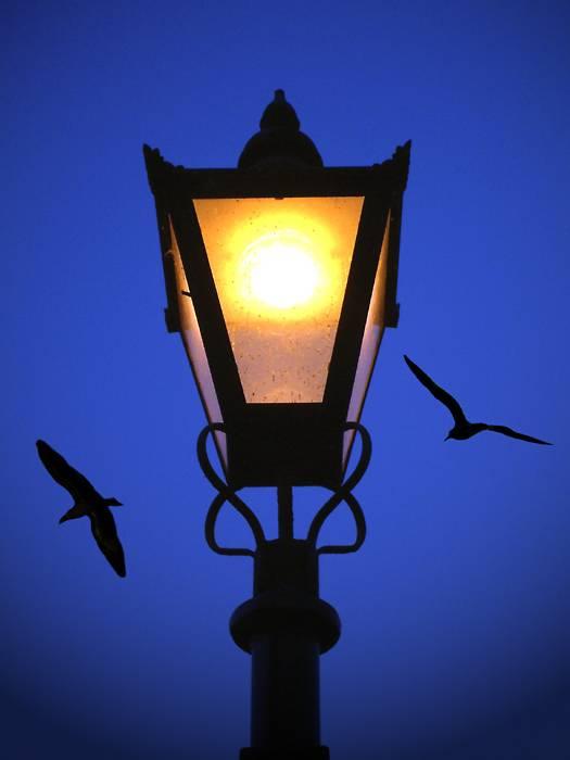 Gulls by lamplight