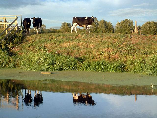 Cows at the river