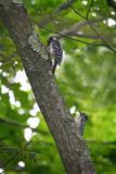 Hairy Woodpecker and Young