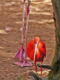 01 07 05 Flamingo Baby , San Antonio Zoo