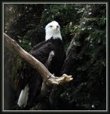 Eagle  Submitted by Lucy