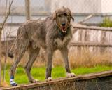 Wolfhounds looking for a home