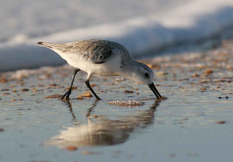 sanderlingdrink.jpg