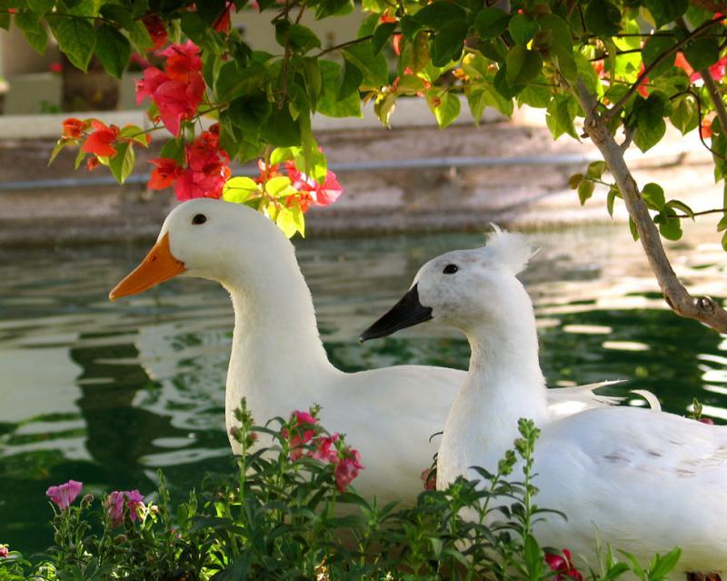 Waterfowl, Scottsdale, Arizona, 2003