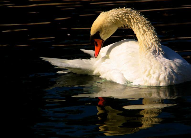 Shimmering Swan, Scottsdale, Arizona, 2003