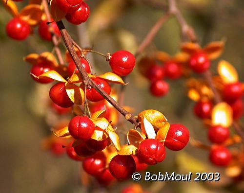 Climbing Bittersweet Fruit