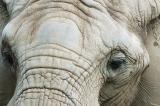 Elephant Eyes.jpg