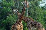 Giraffes Crossing.jpg