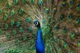 Peacock Display.jpg