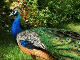 Peacock Walking.jpg