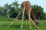 Splayed Giraffe.jpg