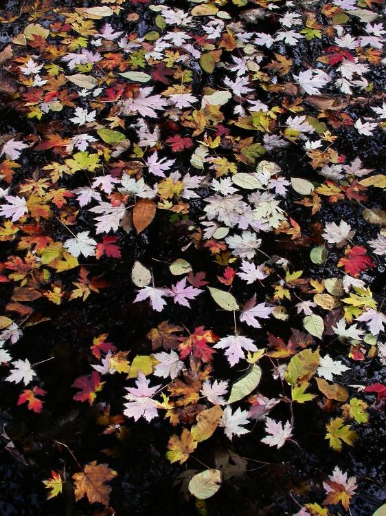 Pond Leaves.jpg