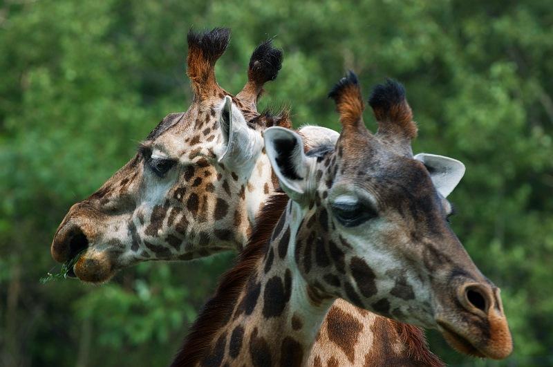 Crossing Giraffe Heads.jpg