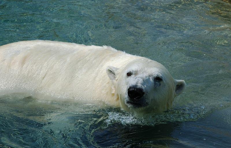 Polar Bear Swimming.jpg