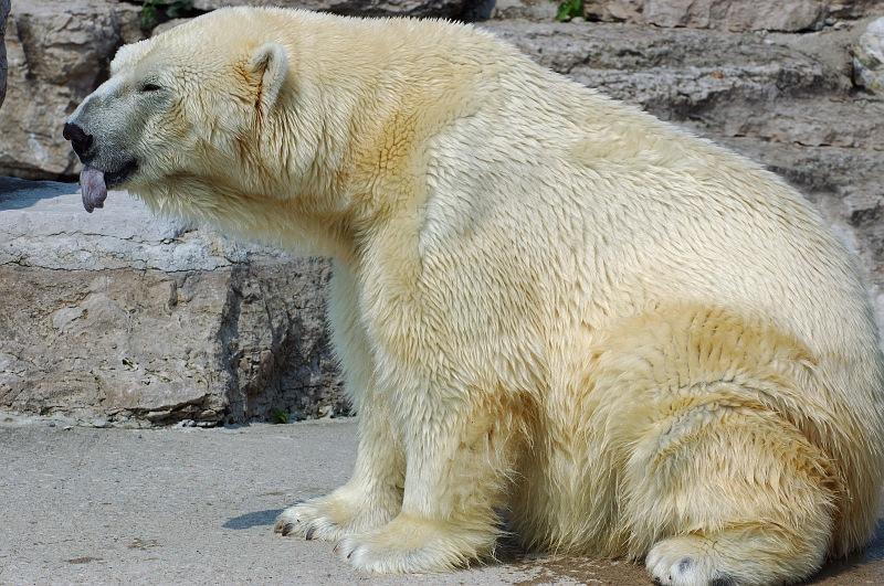 Polar Bear Tongue.jpg
