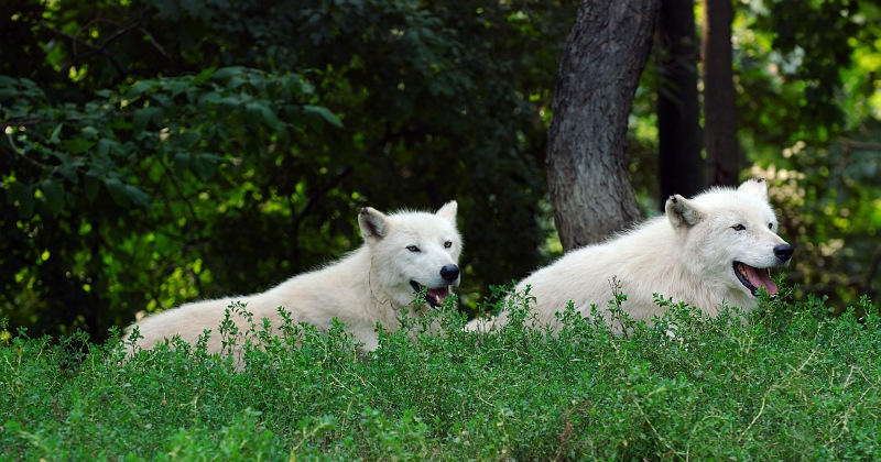 Two Arctic Wolves.jpg
