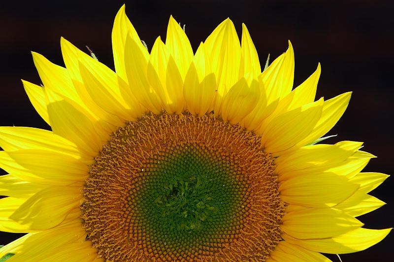 Backlit Sunflower.jpg