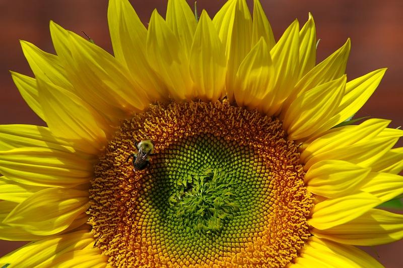 Sunflower and Bumblebee.jpg