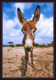 Bonairean Wild Donkey