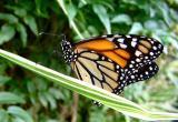 monarch 5.jpg