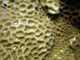 bouldar coral close up