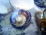 cats eye shell