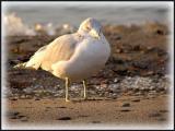 Seagull 03