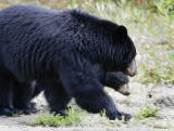 Bears_5558