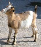 pb_Goats 0311 - 016.jpg