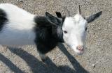 pb_Goats 0311 - 024.jpg