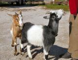 pb_Goats 0311 - 031.jpg