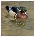 Duck_d2x0137.jpg