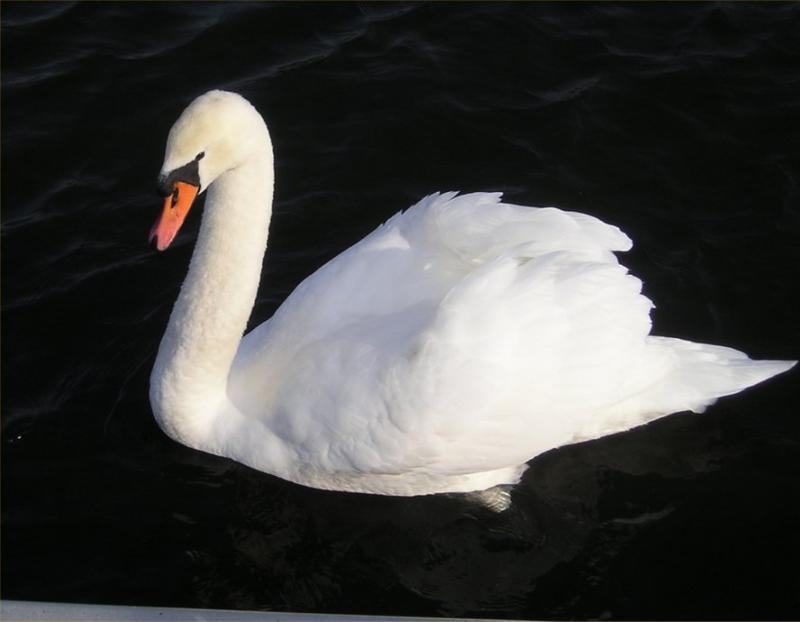 Babylon swan