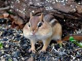 Chipmunk With a Mouthful.jpg