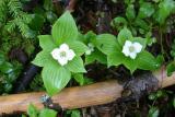 Bunchberry - Cornus canadensis