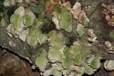Trichaptum biforme (Purple-toothed Polypore)