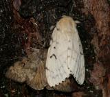 8318 -- Gypsy Moth -- Lymantria dispar