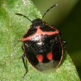 Twice-stabbed Stinkbug - Cosmopepla lintneriana